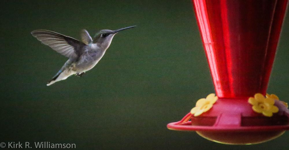 hummingbird-1